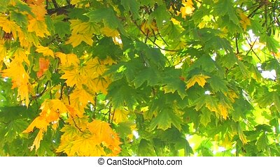 Maple tree with moving green