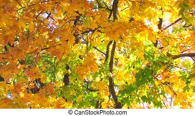 Beautiful autumn colours - Autumnal multi colored tree,...