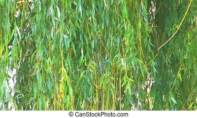 Pussy-willow branches above lake with sunbeams from the...
