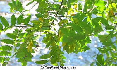 Tree branch with green leaves - Moving tree branch with...