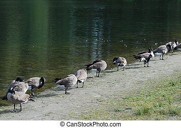 Line up Canadian goose near the lake
