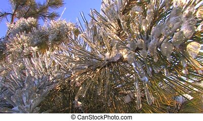 Spruce branch covered with frost - Sparkling spruce tree on...