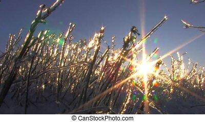 Sunbeams on frozen plant in winter
