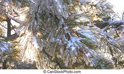 Spruce branch covered with frost