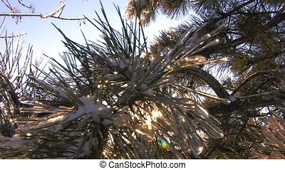 Winter sun shines through spruce