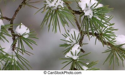 Last snow on spruce branches, closeup, selective focus,...