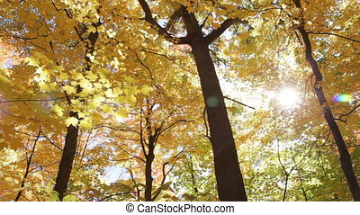 Sunny fall forest - Looking up at maple trees on an autumn...