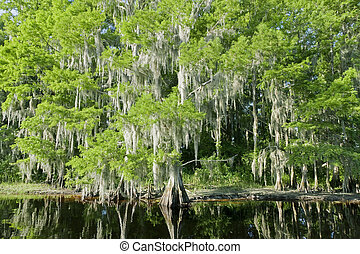 Florida swamp landscape - Bald Cypress Trees reflecting in...