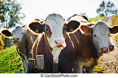 Group of nosy Cows