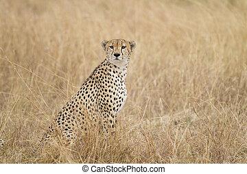 Cheetah, Acinonyx jubatus, Masai Mara National Reserve,...