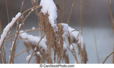 Desolate Frosty Reed in Park - Frosty Reed on winter pond,...