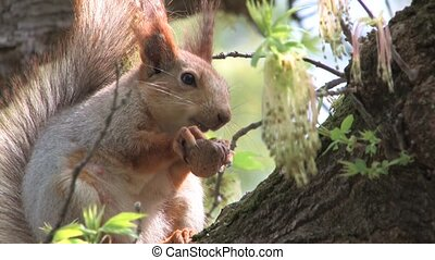 Squirrel sitting on tree in park - Squirrel cracking nuts on...