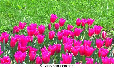 pink tulips on green grass