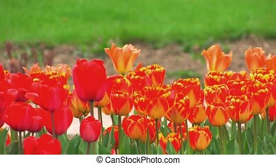 swaying red and yellow tulips - Flower Bed of swaying red...