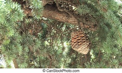 Coniferous Tree, closeup