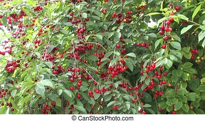 Ripe Cherry Tree in orchard
