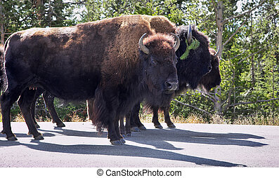 Bisons in Yelloustone national park - Bisons on highway in...