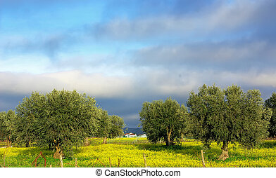 Olives tree in yellow field.