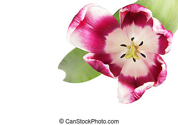 Beautiful tulip close-up on white background