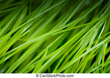 green grass with dew drops - green grass closeup with dew...