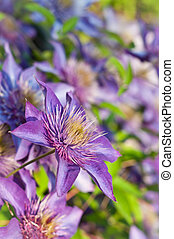 Purple Clematis Flowers - A close-up of a purple clematis...
