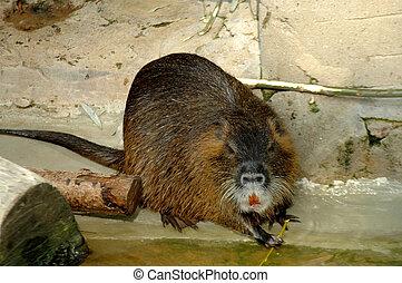 Coypu Myocastor coypus - Coypu or nutria in Zoo Antwerp