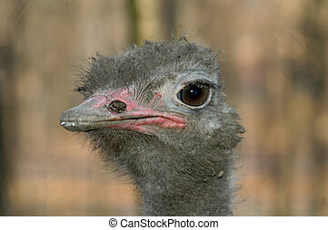 Ostrich Struthio camelus - Head of an ostrich