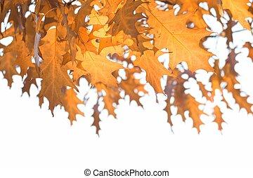 Fall leaves - Orange oak leaves, season is fall