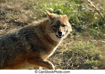 Golden jackal (Canis aureus)  - A jackal shows its teeth
