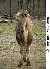 Bactrian camel (Camelus bactrianus) - A young camel in...