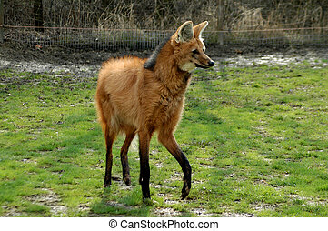 Maned wolf (Chrysocyon brachyurus) - Walking maned wolf in...