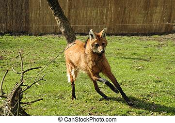 Maned wolf (Chrysocyon brachyurus) - Running maned wolf in...