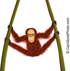 Orangutan hanging time
