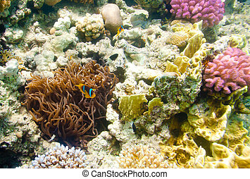 anemonefish - Red sea - Topical saltwater fish ,clownfish...