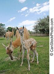 Guanaco Lama guanicoe family - A newborn guanaco in Szeged...