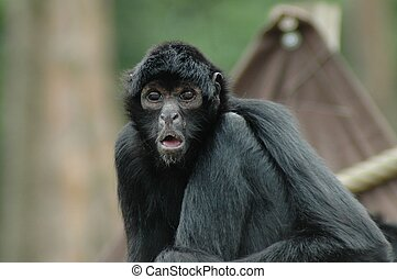 Spider monkey Ateles fusciceps - Portrait of a black-headed...