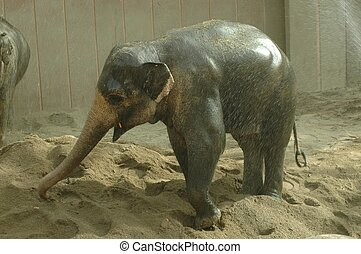 Asian elephant (Elephas maximus) - An Asian elephant is...