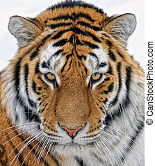 Tiger - Close up portrait of a beautiful Siberian tiger