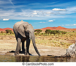 Drinking elephant in african savanna