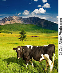 Grazing bull - Mountain landscape with green field and...