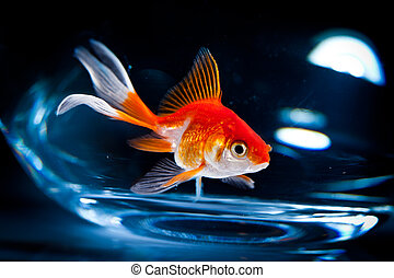goldfish floats in an aquarium on a dark background