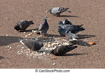 The flock of pigeons