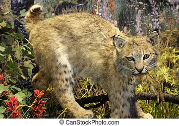 Close up image of bobcat with kill