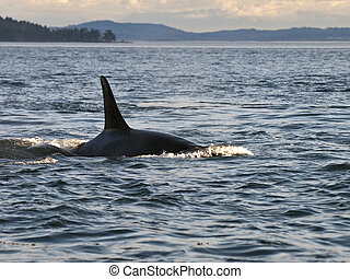 Orca Whale Dorsal Fin - A resident Orca Whale swimming by...