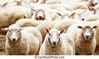 Herd of sheep - Livestock farm, herd of sheep