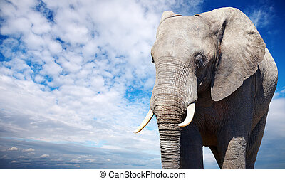 African elephant against blue sky background