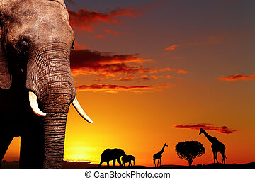 African nature concept - African elephant in savanna at...