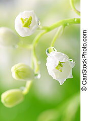 Lily of the valley with water drops in green leaves
