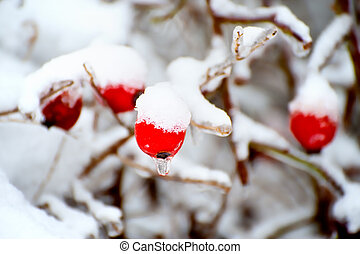 Rose Hipes in winter