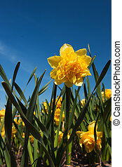 Double yellow Daffodils - double yellow Daffodils in the...